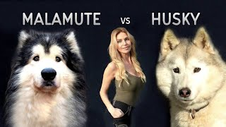 GIANT ALASKAN MALAMUTE Versus THE SIBERIAN HUSKY DOG