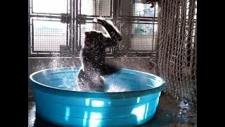 Gorilla at Dallas Zoo is a 'Dancing Mac...