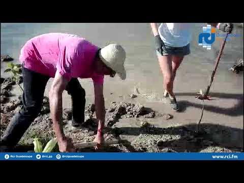 #Guadeloupe : opération plantation de palétuviers