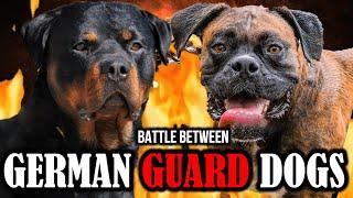 Rottweiler vs Boxer | Boxer vs Rottweiler | Battle between German Guard Dogs | Billa Boyka |