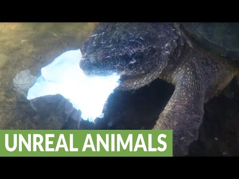 Woman courageously holds hands with gigantic snapping turtle