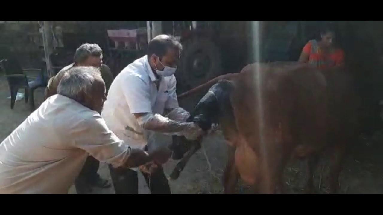 Angry Cow 🐄 Birth Calf