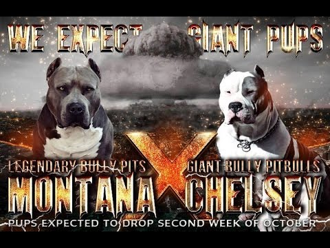 Giant Bully Pitbulls xxl breedings pitbull europe