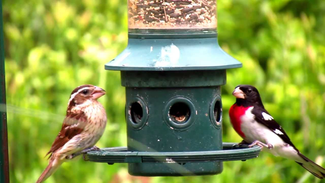 squirrel brome bird proof watch feeder youtube