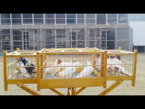Головатые двухчубыебойные голуби: Бакинские бойные голуби в гостях у голубеводаСергея Петровича!