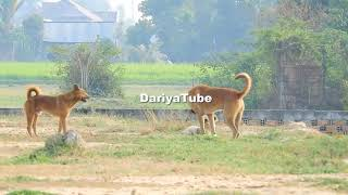 RuralDogs!! Gold Labrador Retriever Meeting Female Dog In Summer - DariyaTube