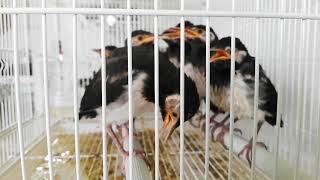 Jual Burung Jalak Suren Lolohan Harga Grosir