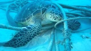 海亀のお腹にくっついていたコバンザメ thumbnail