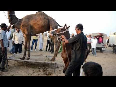 Camel & Horse Dance  Pushkar Fair Festival 2016
