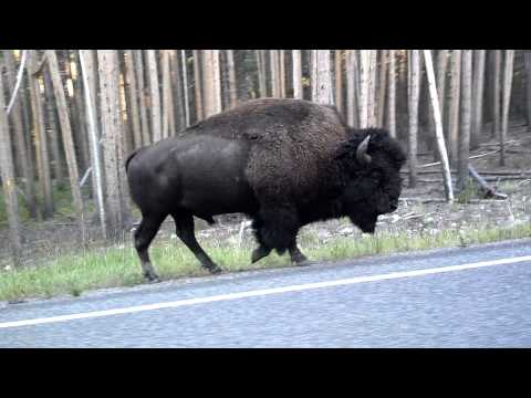 Yellowstone bison 2012