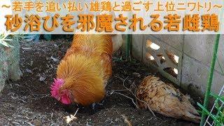 """2017年12月中旬。 生後7ヶ月を過ぎた名古屋コーチン若雌鶏""""もみじ""""が砂..."""