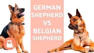 German Shepherd VS Belgian Shepherd