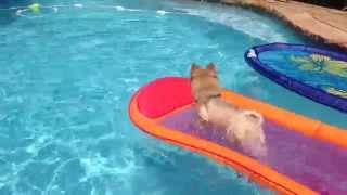 Bear The Pomeranian Water Dog That Retrieves Toys Half His Size Incredible!