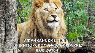 АФРИКАНСКИЕ ЛЬВЫ В ПРИМОРСКОМ САФАРИ-ПАРКЕ. 8 08 2018 Г.