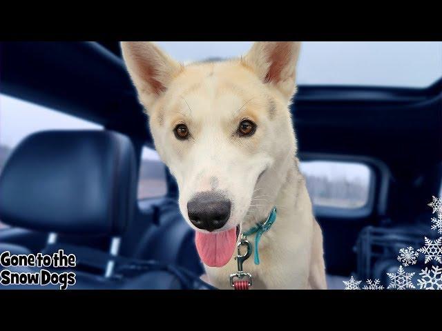 Meet Tango The Husky | Help Us Help Huskies Dog Rescue