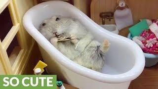 Lazy hamster enjoys snack in the bathtub
