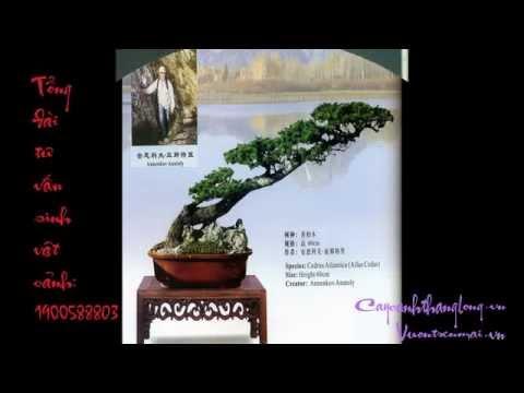 BONSAI VĂN NHÂN LÀM XÚC ĐỘNG MỌI TRÁI TIM- cây cảnh đẹp Hà Nội, Việt Nam