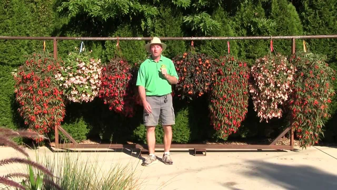 Trailing Begonias New Vegetative Varieties Youtube