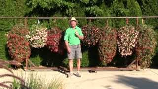 Trailing Begonias - New Vegetative Varieties