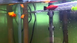 Aquariums, new fish, and platy fry