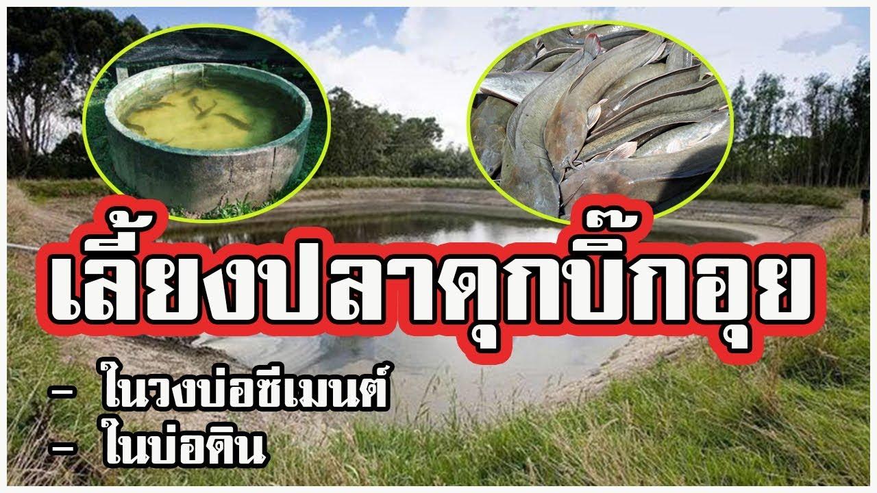 การเลี้ยงปลาดุกบิ้กอุย   ในวงบ่อซีเมนต์ และ บ่อดิน  