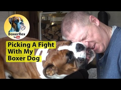 Boxer Dog Attacking And Boxing His Master