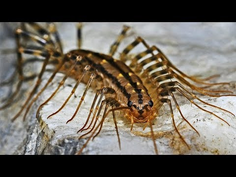 Why You Should Not Kill House Centipedes
