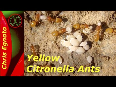 Yellow Citronella Ants with Aphids. Ant Farmers! Nature Now!