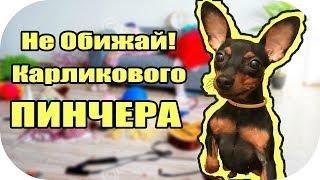 Карликовый пинчер цвергпинчер Интересные факты / жить на 100
