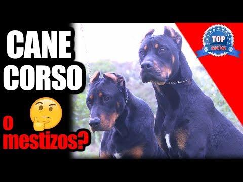 CANE CORSO O MESTIZOS.??