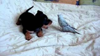 Купить щенка: русский той-терьер - Егоза.