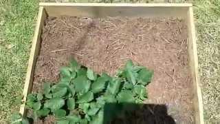 2015 Garden Update Cantaloupe Okra Watermalon Blackberries Raised Beds