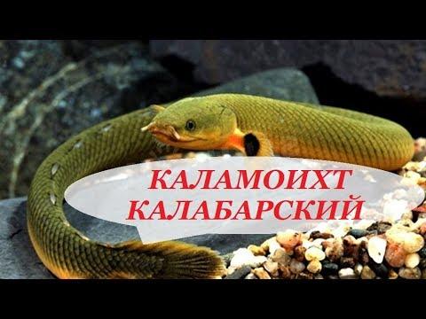 Каламоихт Калабарский рыба-змея содержание в аквариуме, совместимость, чем кормить