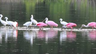 Video Roseate Spoonbills In Action download MP3, 3GP, MP4, WEBM, AVI, FLV Oktober 2018
