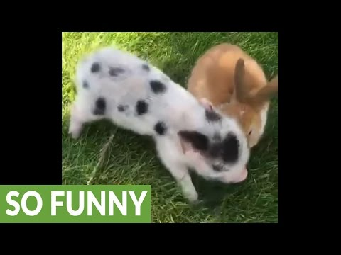 Mini pigs perform their favorite trick