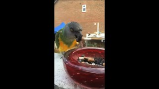 Parrot Taking Burned Cigarette From Ashtray on the Balcony