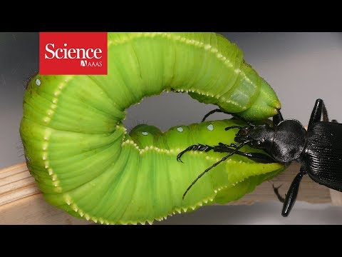 Watch this caterpillar fling its beetle attacker through the air