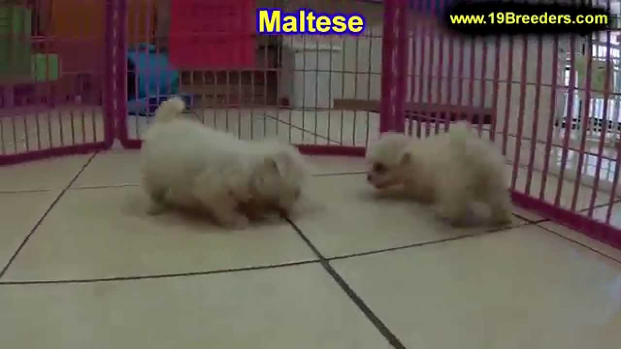 Maltese Puppies Dogs For Sale In Jacksonville Florida Fl