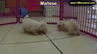 Maltese, Puppies, For, Sale, In, Aurora, Illinois, Il, Moline, Belleville, Lombard, Dekalb, Glenview