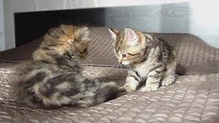 Котята играют на кровати