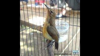 Kolibri Ninja ( Konin ) Muda Hutan Gacor Nyerang