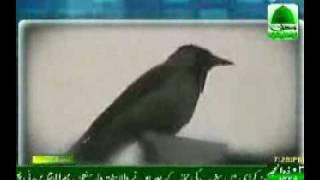 Repeat youtube video Lion, Crow, Cow & Parrot All doing Zikr of Allah