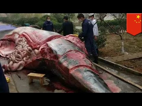 Whale slaughter: Dead 8-ton whale butchered outside office building in Jiangxi, China - TomoNews
