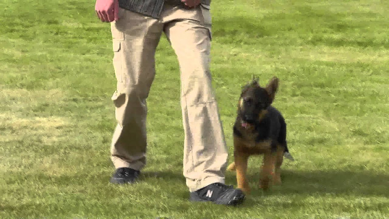 german shepherd 12 weeks german shepherd puppy in training 12 weeks old youtube 2991