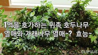 1억을 호가하는 귀족 호두나무 열매와 가래나무 열매~?…