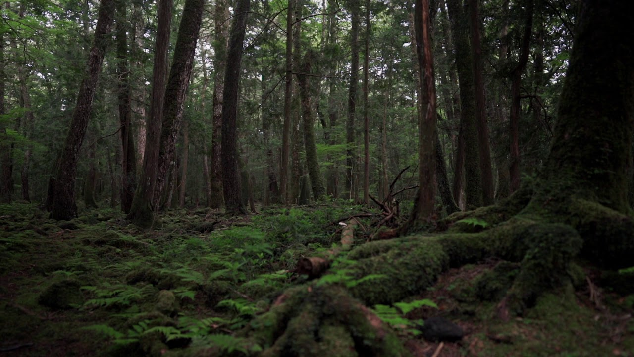 Download Deep Forest Sound From Aokigahara Japan