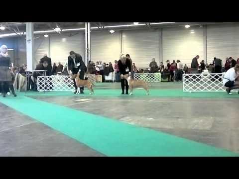 FeHoVa Winter Dog Show 13.02.2015 American Staffordshire Terrier Intermediate females (AMSTAFF)