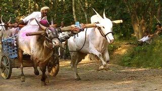 Jabardast bulls running in bullock cart race