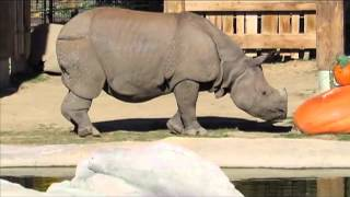 Denver Zoo greater one-horned rhino enjoys Halloween treat, eventually
