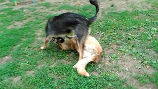 Собаки играют в кусаки.